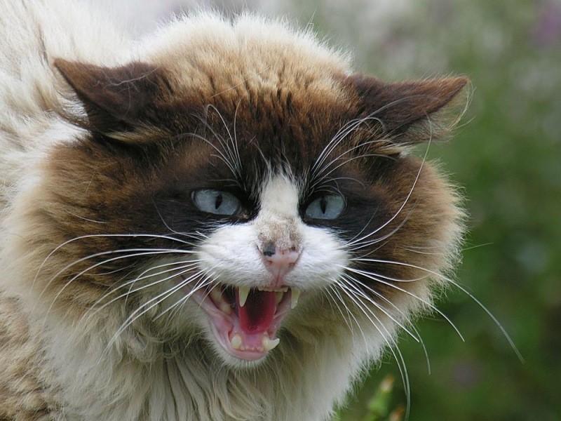 Кастрация делает котов более покладистыми