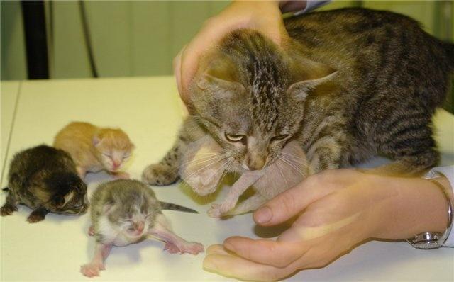 Кастрировать имеет смысл именно тех кошек, которые еще не успели обзавестись потомством