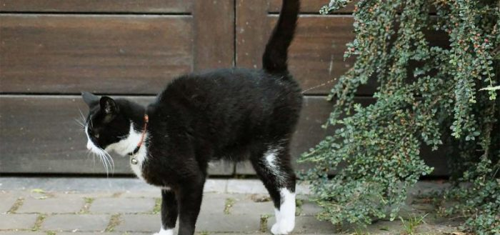 Коты метят территорию для того, чтобы сильным запахом привлекать самок