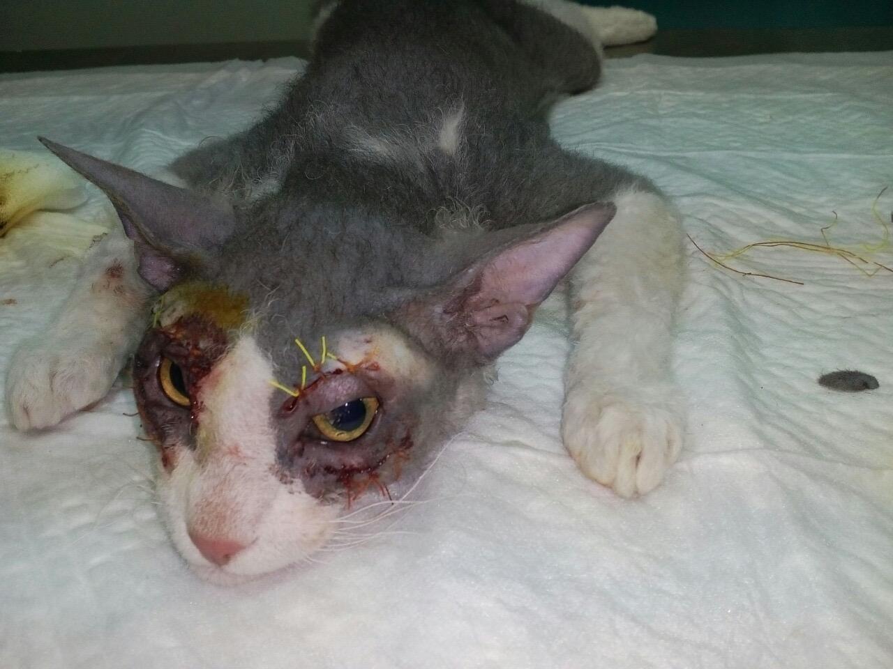 Кот, прошедший операцию по выворачиванию века