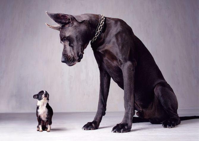 Крупногабаритные собаки более склонны к завороту кишок, чем миниатюрные собаки