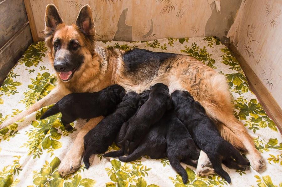 К сожалению, щенки не всегда имеют доступ к материнскому молоку