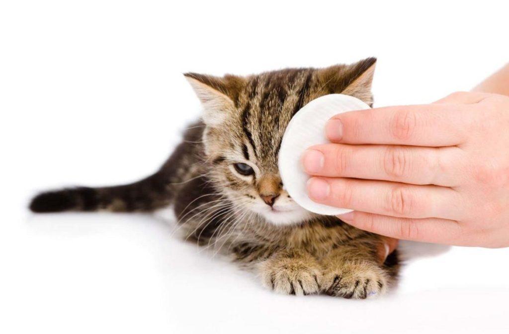 Мази наносятся на глаза кошке с помощью ватных дисков или марли