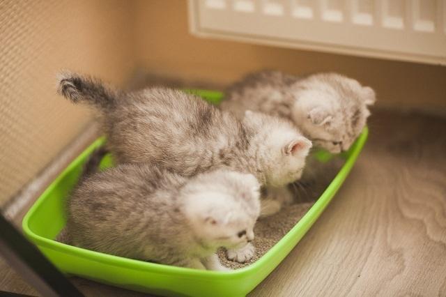 Месячные котята уже способны усвоить правила использования лотка