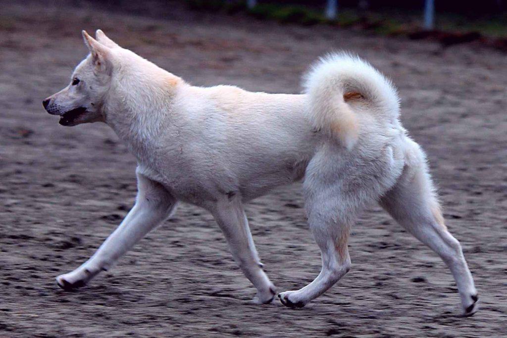 Наиболее крепкие и жизнеспособные особи используются для охоты на самого крупного зверя