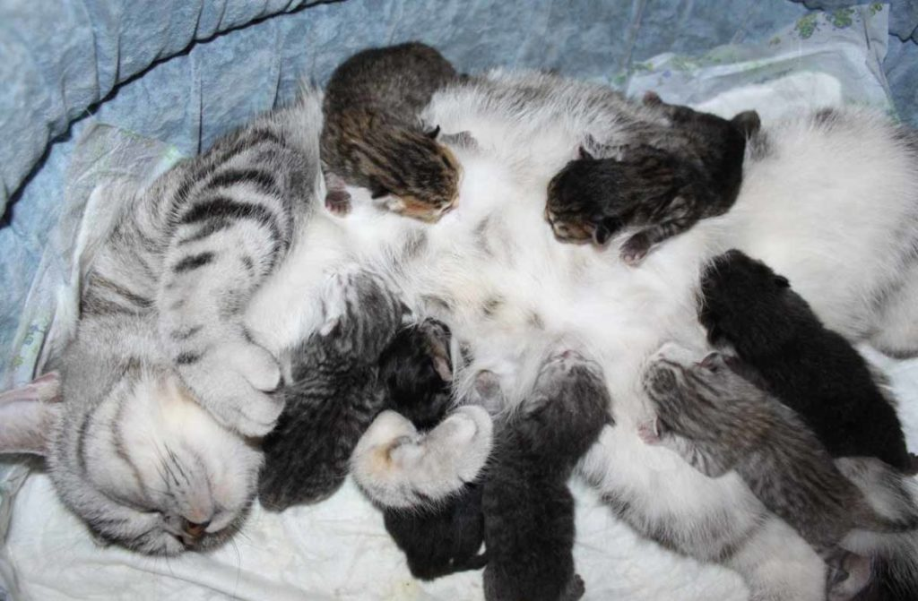На восстановление и откармливание родившихся котят у кошки уходит около шестидесяти дней