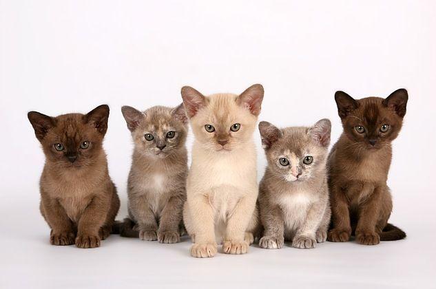 Непропорциональность быстро проходит у котят по мере их созревания