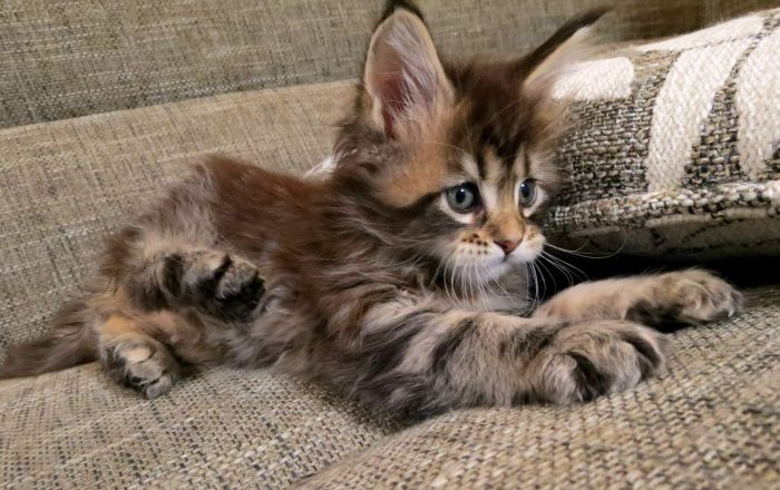 Непропорционально большие уши распространены у многих взрослеющих котят