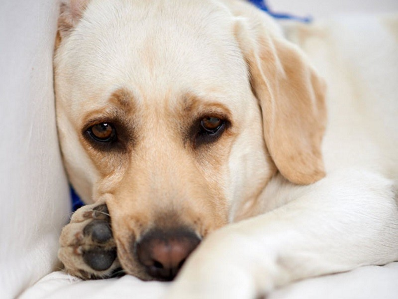 Обезболивающее нужно давать собаке лишь в том случае, если вы уверены в его эффективности и правильности дозировки