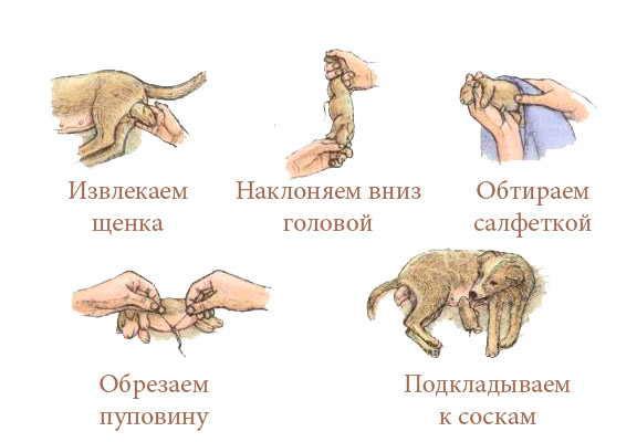 Общие процедуры по очищению новорожденного щенка