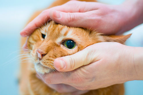 Определить эффективный способ лечения ветеринар сможет только после детального обследования глаз животного
