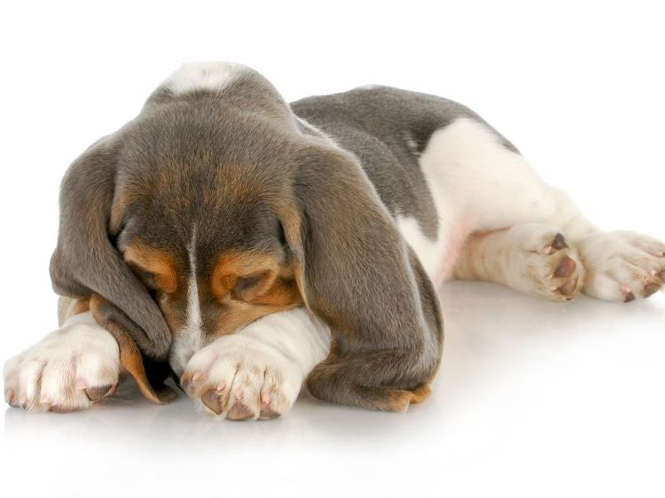 Острая форма вздутия живота предполагает резкое ухудшение самочувствия собаки