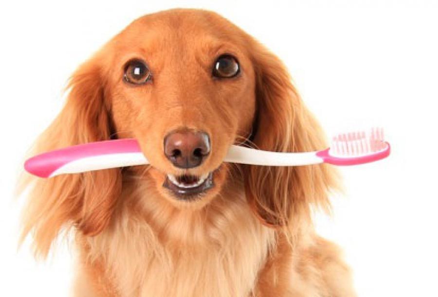 Очистку зубов собаки желательно проводить еженедельно