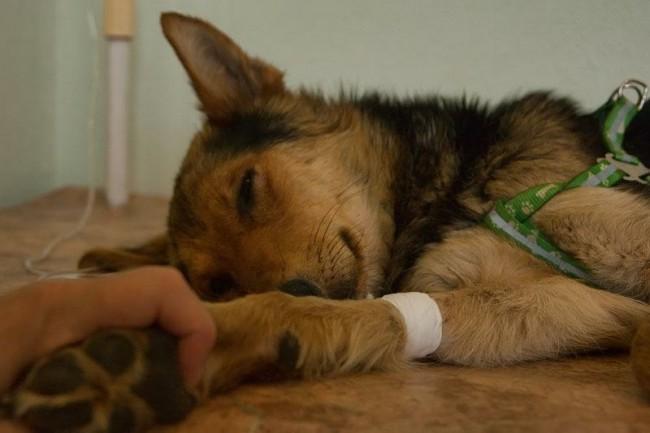 Парвовирусный энтерит является опасным заболеванием, быстро истощающим собаку