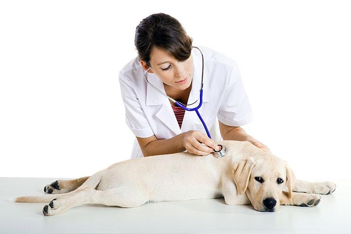 Перед проведением операции, ветеринар обязательно осматривает собаку и назначает ей УЗИ