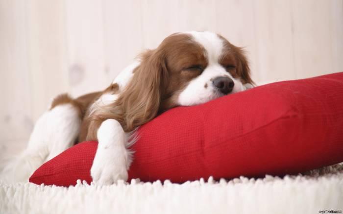 Перед сном щенку желательно давать легкую пищу, которая не вызовет у него дискомфорта