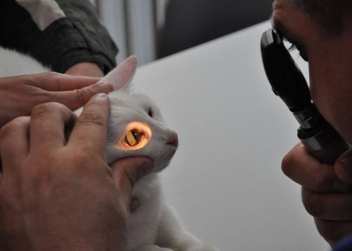 Перед тем, как поставить диагноз врач тщательно осматривает кота и назначает ряд анализов