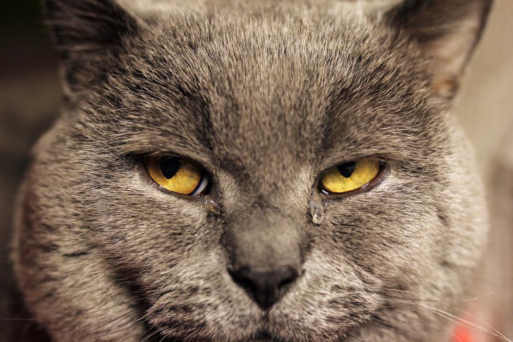 Повышенная слезливость может указывать как на пожилой возраст кошки, так и на наличие у нее болезней, связанных с глазами