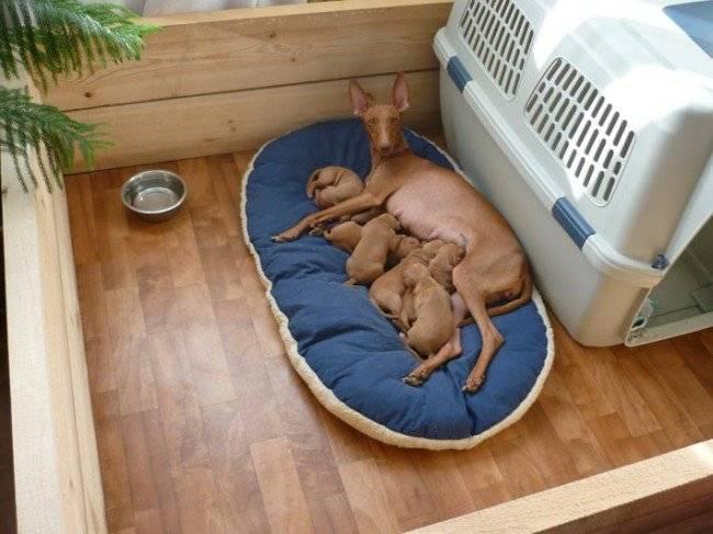 Подготовка территории для родов собаки ведется каждым хозяином в индивидуальном порядке