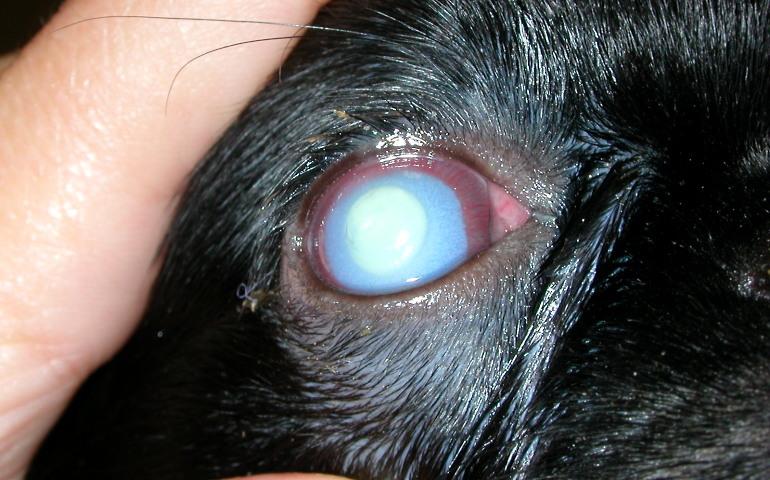 Помутнение роговицы может привести к слепоте собаки