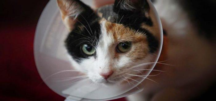 После обработки кошки, необходимо надеть на нее воротник, чтобы продукт не попал ей внутрь через язык