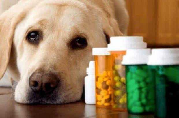 После операции собакам непременно назначается курс антибиотиков