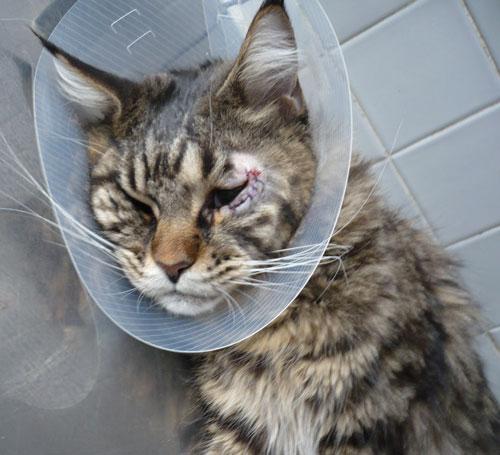По окончанию операции на кота сразу надевают защитный воротник
