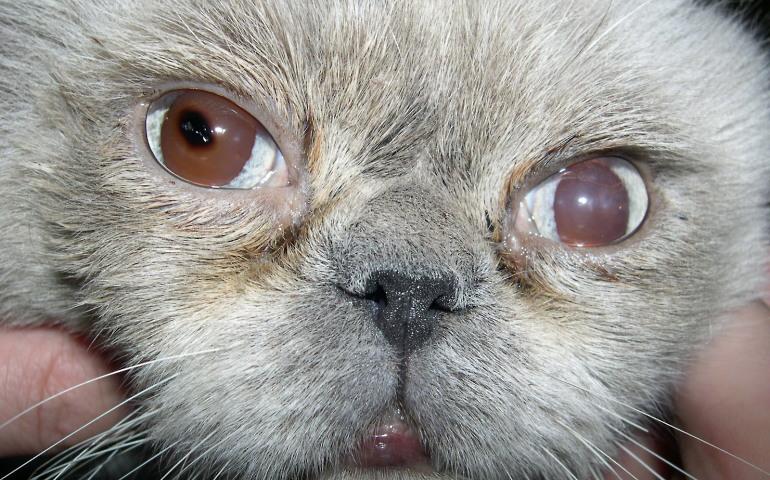 Предотвратить большинство проблем с глазами у кота помогут правильные условия содержания