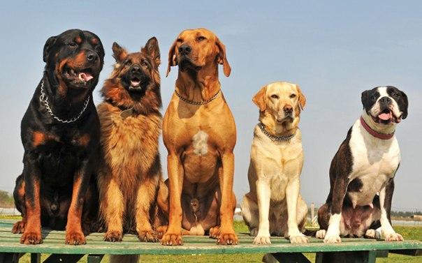 Предрасположенность крупных собак к проблемам с ЖКТ объясняется их физиологией и строением связок