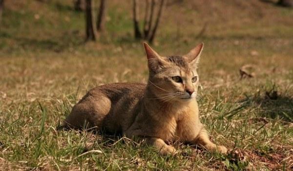 Приобрести чистокровную кошку у заводчика чрезвычайно трудно