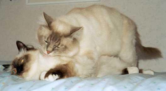 При заваливании кошки необходимо придать ей правильное положение