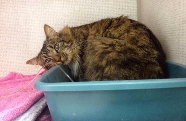 При почечной недостаточности у кошки может наблюдаться недержание
