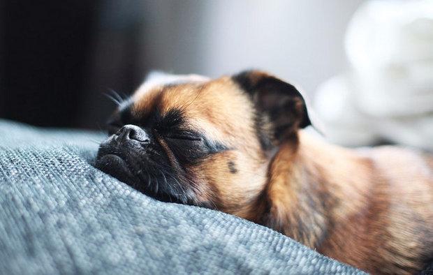 При правильном уходе за собакой, аденовирус можно вылечить в домашних условиях