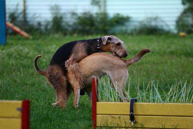 Прозрачные выделения после вязки являются распространенным явлением у собак