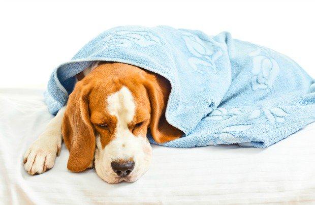 Распознать инфекционное заболевание у животного можно по его угнетенному состоянию и постоянной усталости