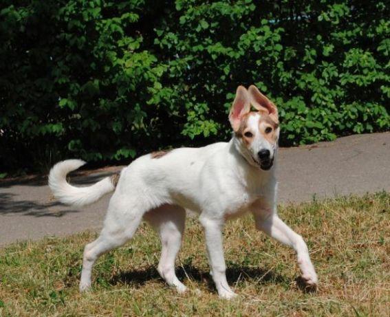 Семимесячных щенков часто бывает практически не отличить от зрелых особей