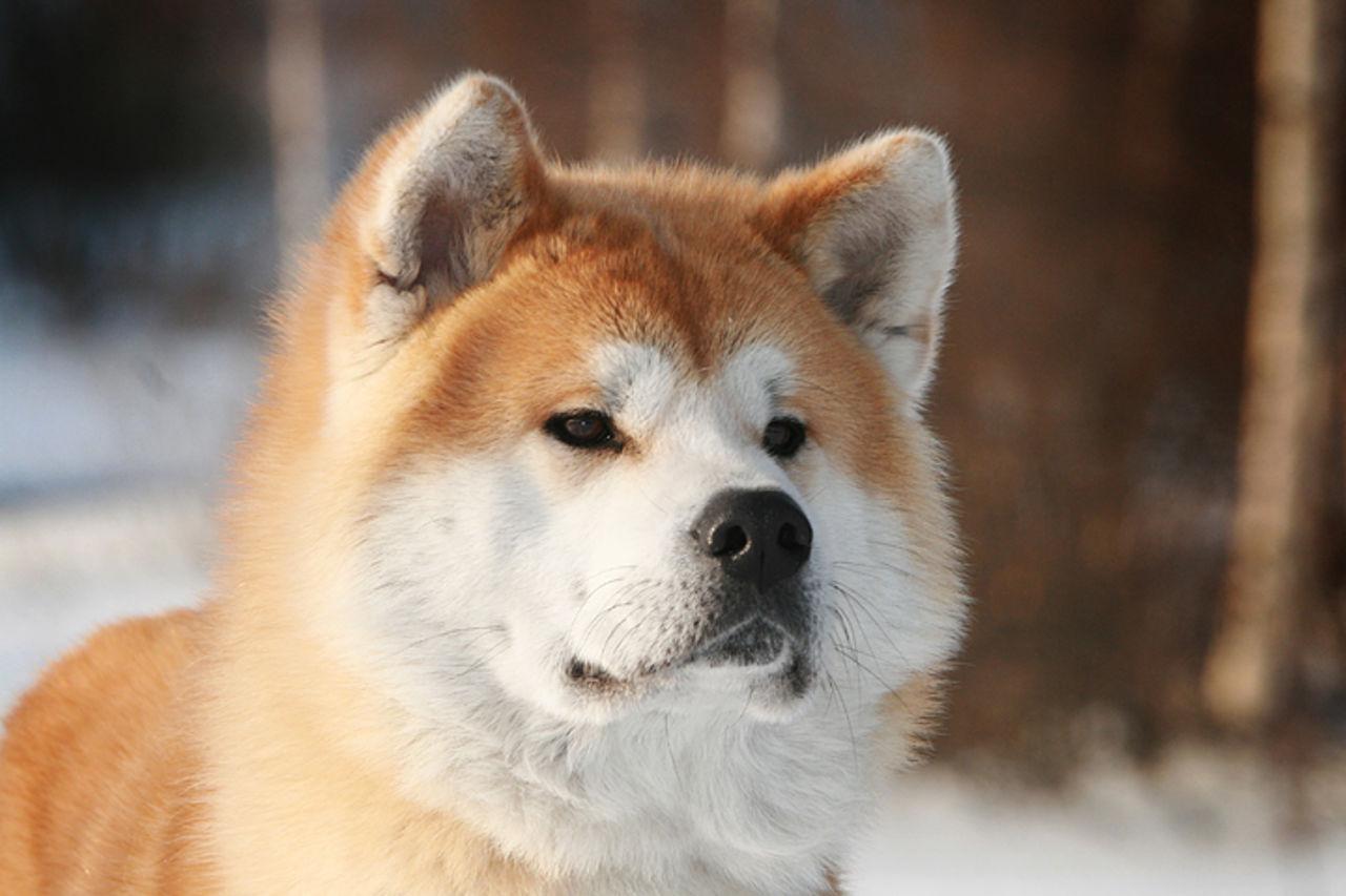 Собакам породы Акита-Ину важны близкие отношения с хозяином