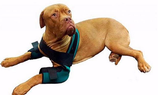 Собака с бандажом на локтевом суставе