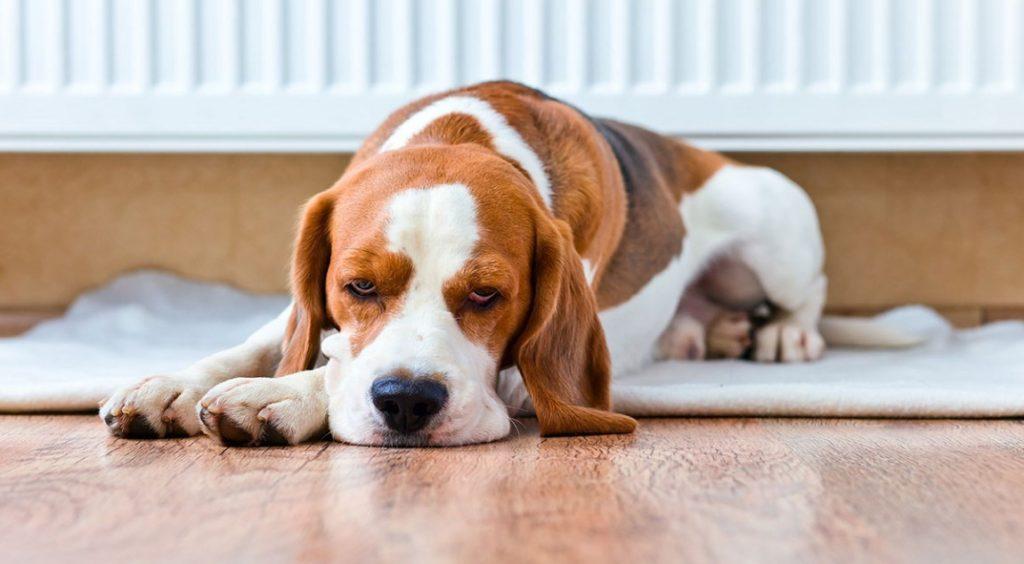 Собаки, болеющие бурситом, теряют интерес к окружающему миру