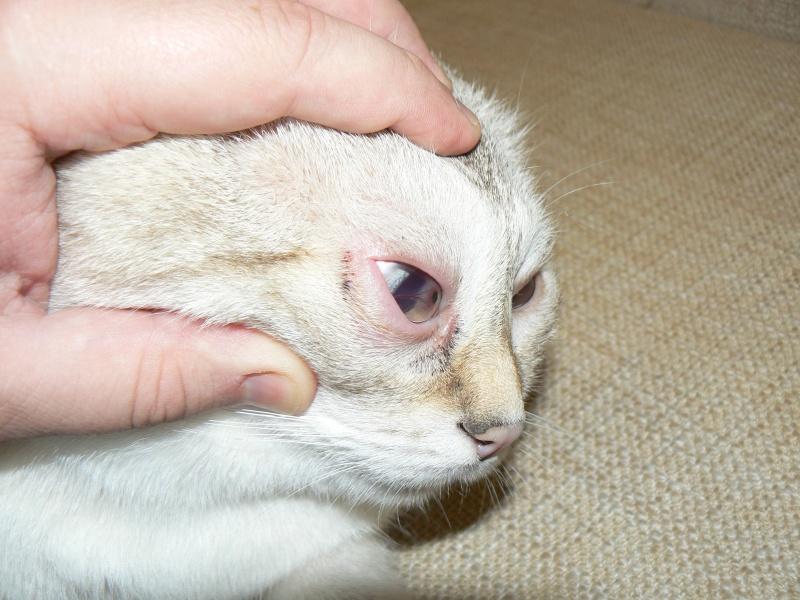 Спровоцировать заворот века может травма, полученная котом незадолго до появления первых симптомов