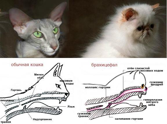 Сравнение черепов обычной кошки и кошки-брахицефала