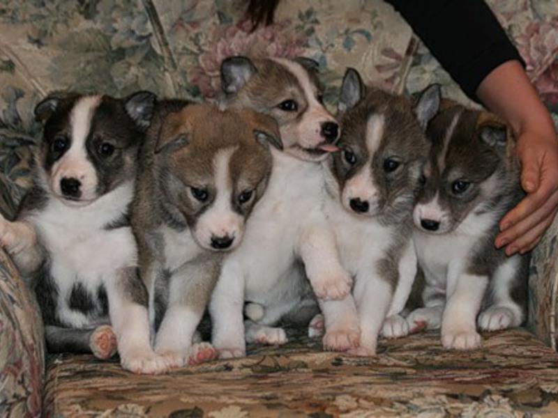Стоимость щенков Западносибирской лайки варьируется и определяется продавцом