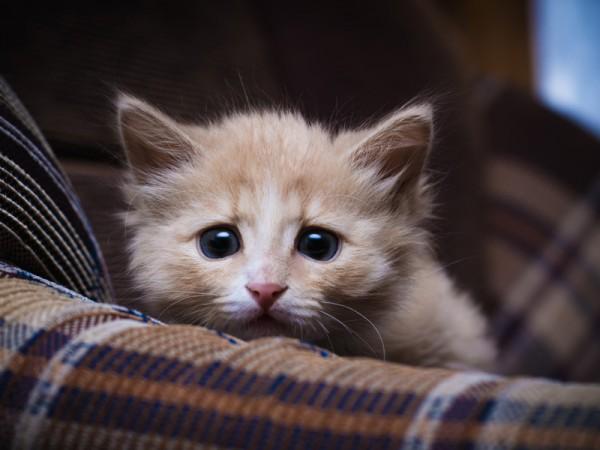 Страхи, пережитые котенком в раннем детстве, становятся причиной неадекватного реагирования в дальнейшем