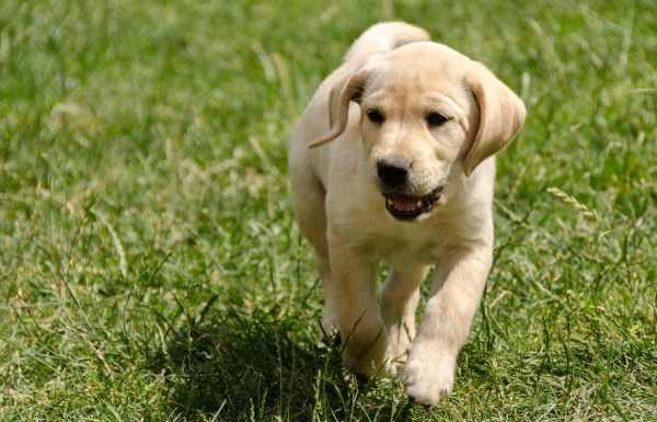 Трехмесячные щенки способны переваривать большую часть пищи, доступной взрослым особям