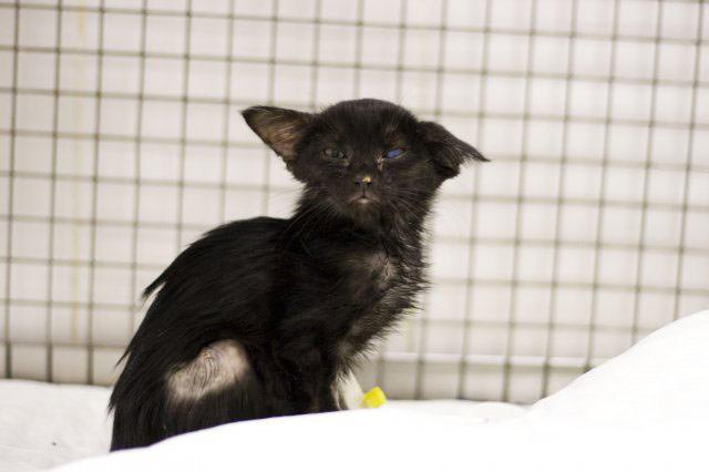 У кошек, переживших чумку, часто возникают различные осложнения, среди которых числится и эпилепсия