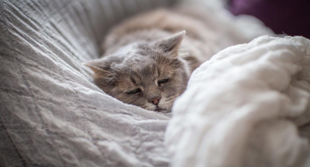 У кошки, имеющей эктопаразитов, быстро ухудшается общее состояние здоровья