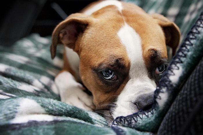 Хроническое вздутие может протекать незаметно для владельца собаки