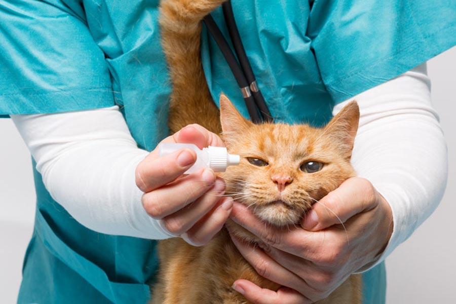 Часто перед операцией коту назначаются специальные антибактериальные капли