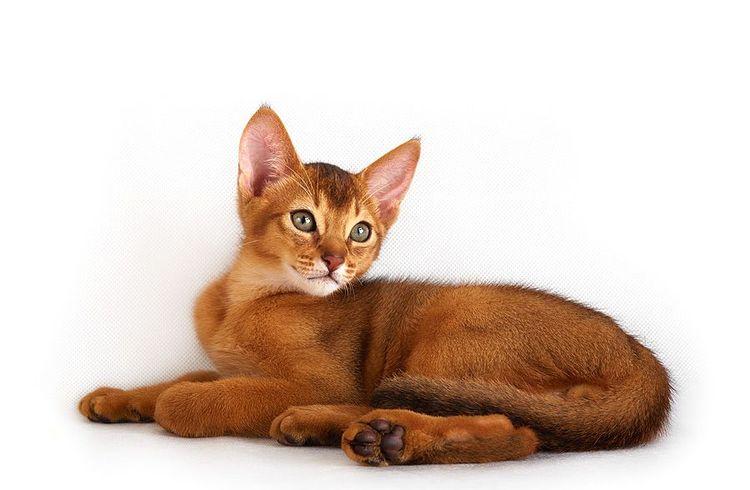 """Часто питомники распродают зрелых кошек, которые больше не могут участвовать в """"племенной работе"""""""