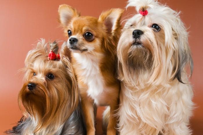 Чем меньше собака, тем больше вероятность развития у нее зубных заболеваний